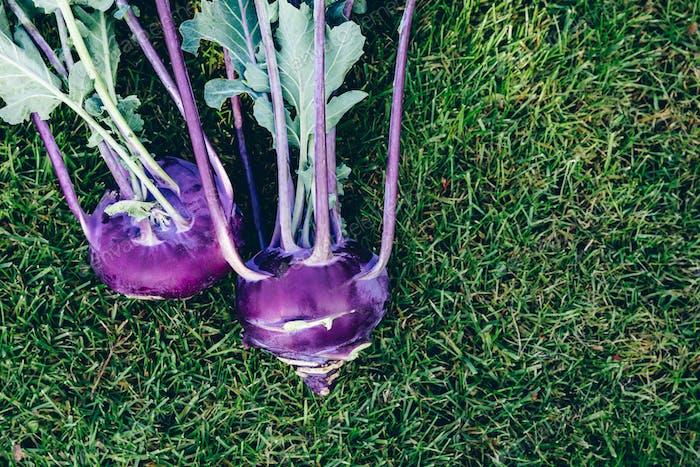 Raw Purple Kohlrabi cabbage on green garden background