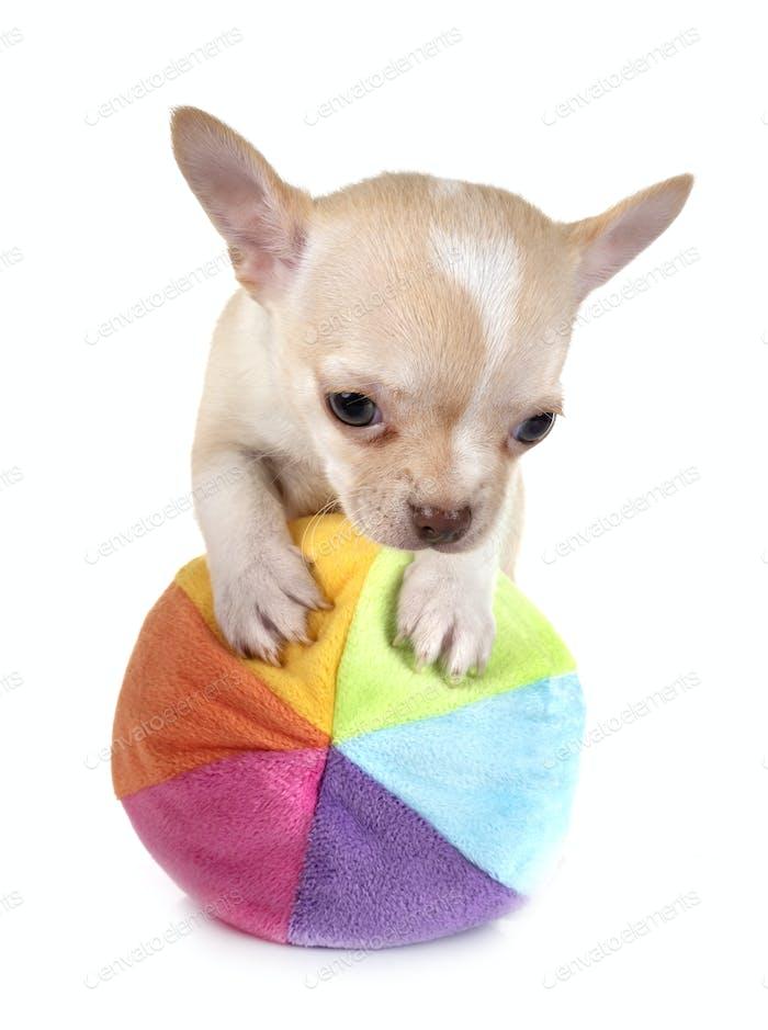 Welpe Chihuahua im Studio