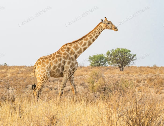 Giraffe in the Kalahari