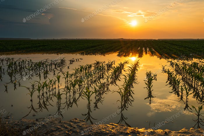 Flooded young corn field plantation with damaged crops in sunset