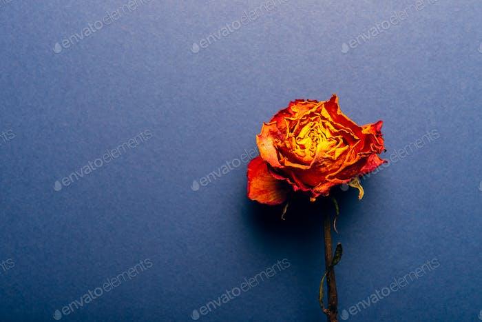 Dried orange rose, beautiful faded flower