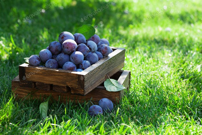 Thumbnail for Garden plums in wooden box