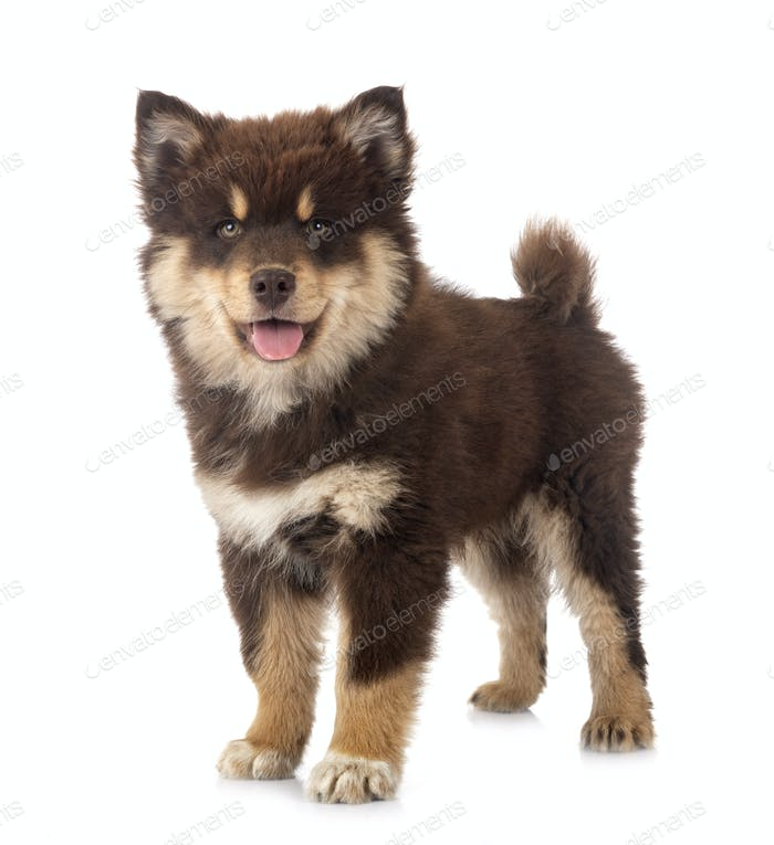 puppy Finnish Lapphund in studio