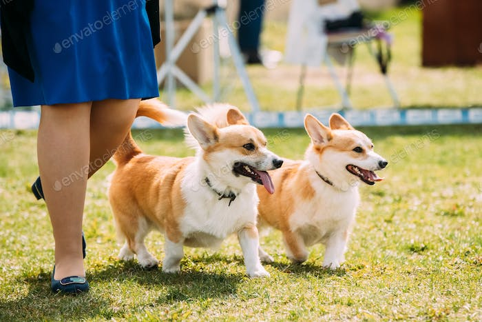 Two Funny Pembroke Welsh Corgi Dogs Running Near Woman In Green