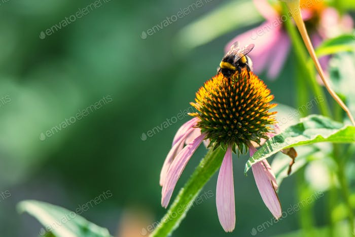 Flowers of Echinacea purpurea and bumblebee