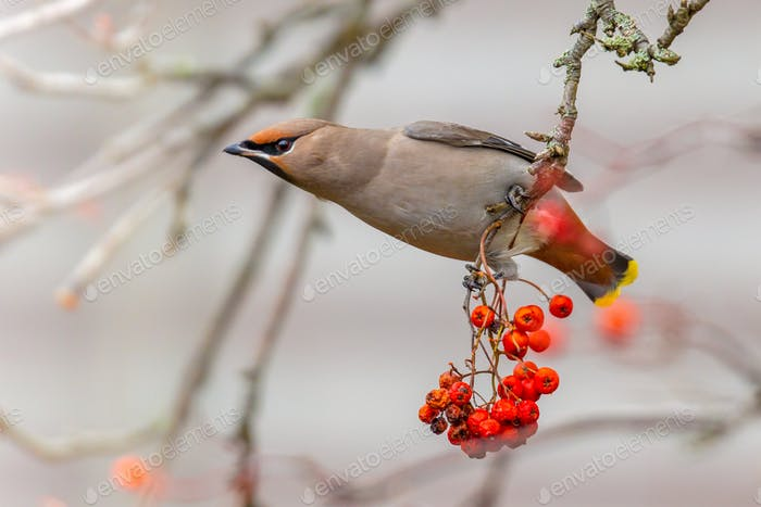 Bohemian waxwing winter passerine bird feeding on berries