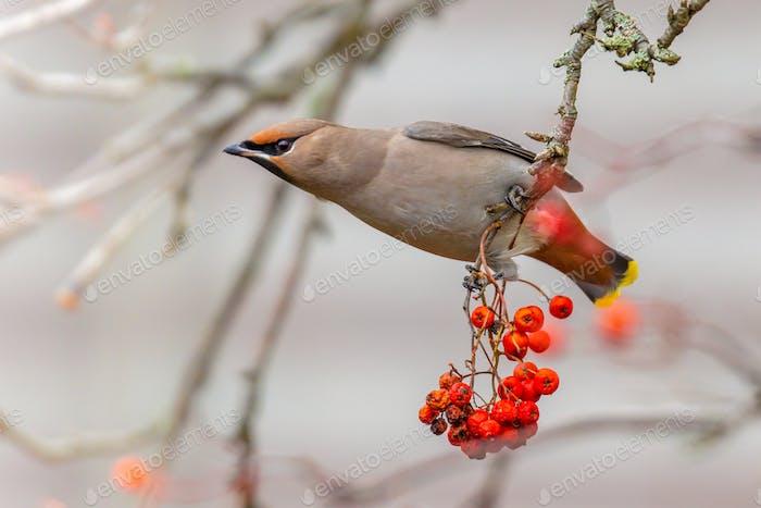Bohemian waxwing winter passerine bird feeding on berries