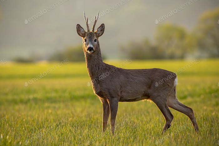 Roe deer, capreolus capreolus, buck in spring time at sunset