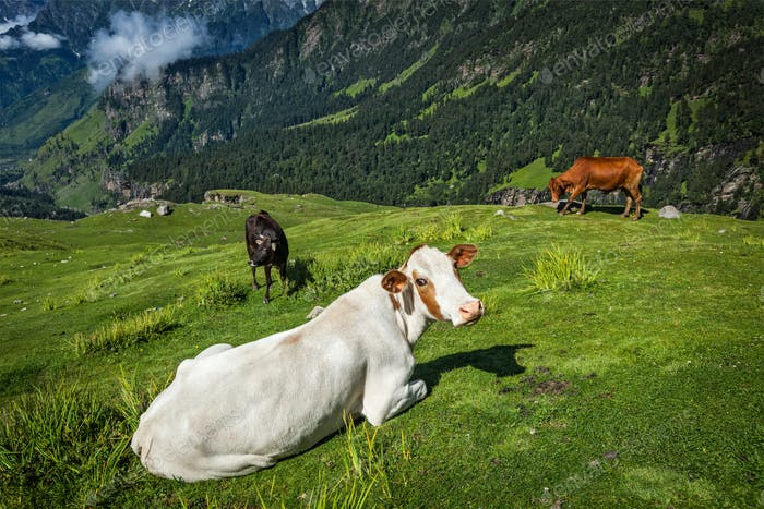 Kühe, die im Himalaya grasen