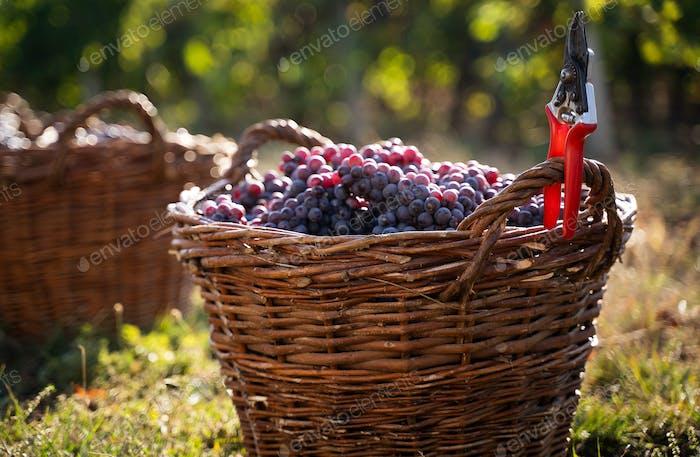 Reihe von frisch geernteten Trauben in Weidenkörben