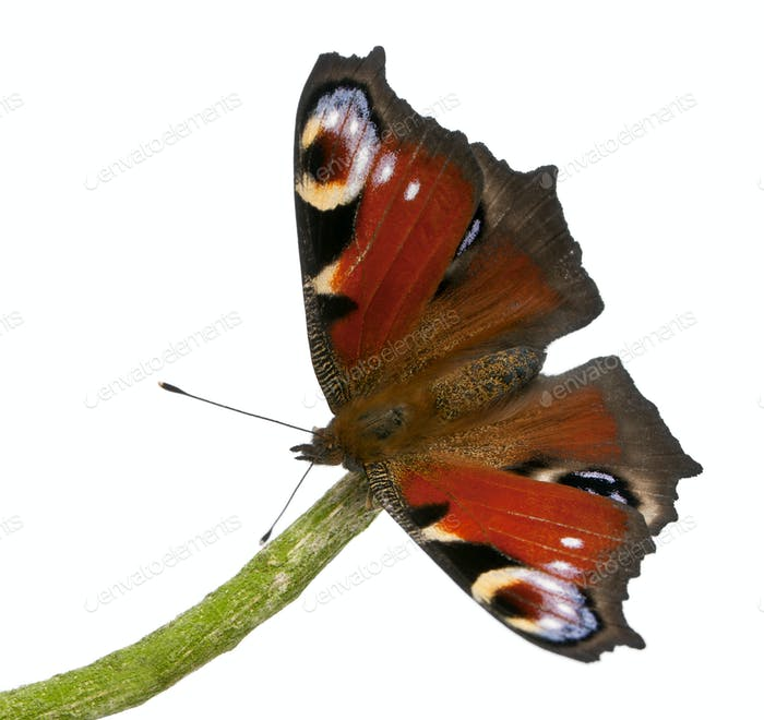 European Peacock moth, Inachis io, on a branch in front of white background