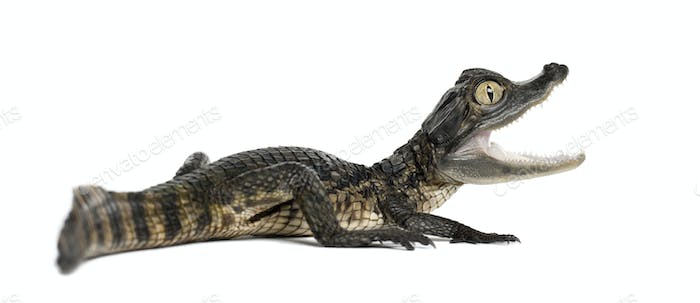 Spectacled Caiman, Caiman crocodilus, also known as a the White Caiman or Common Caiman