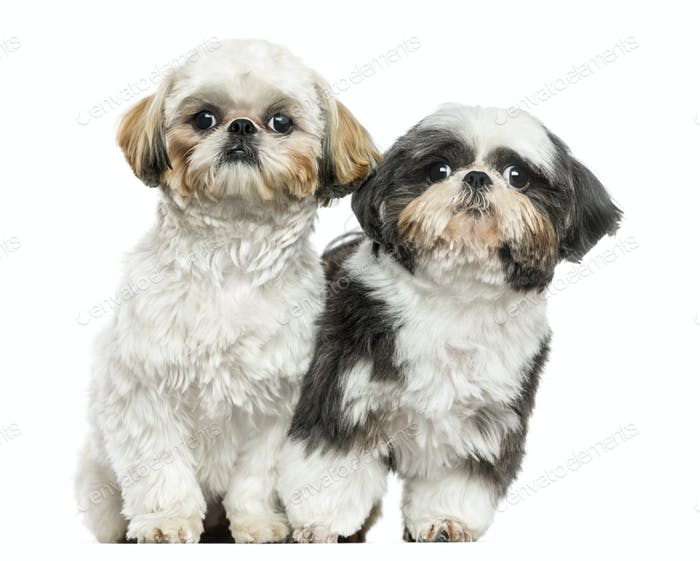 Two Shih Tzus sitting next to each other, looking at the camera, isolated on white