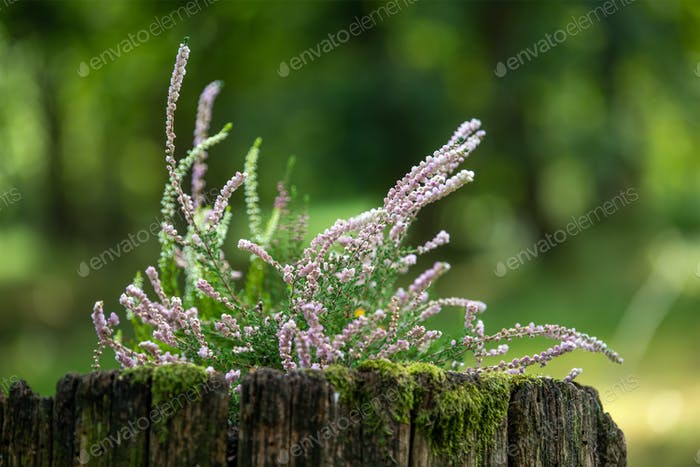Calluna on tree stump