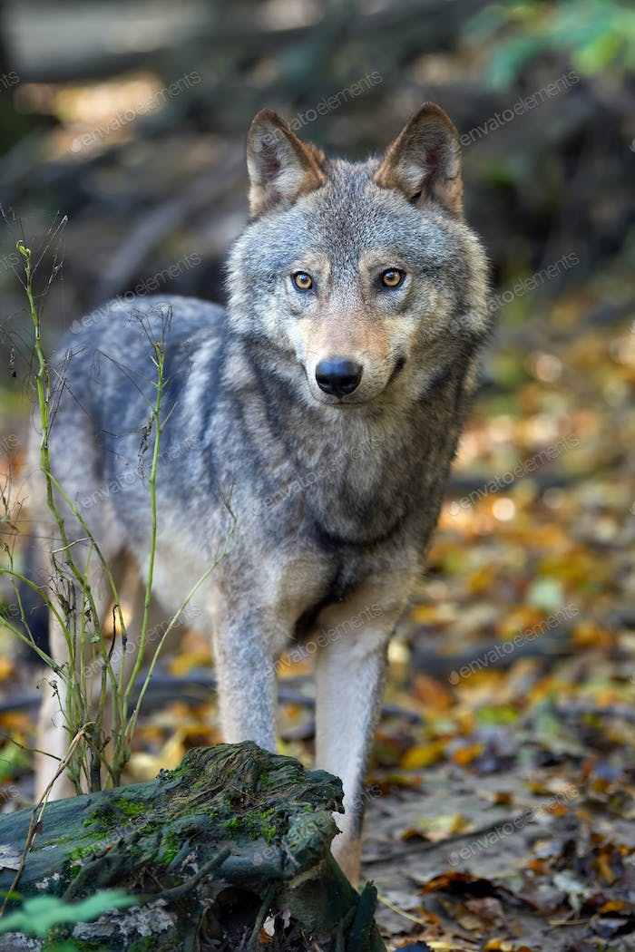 Wolf hunting in the forest