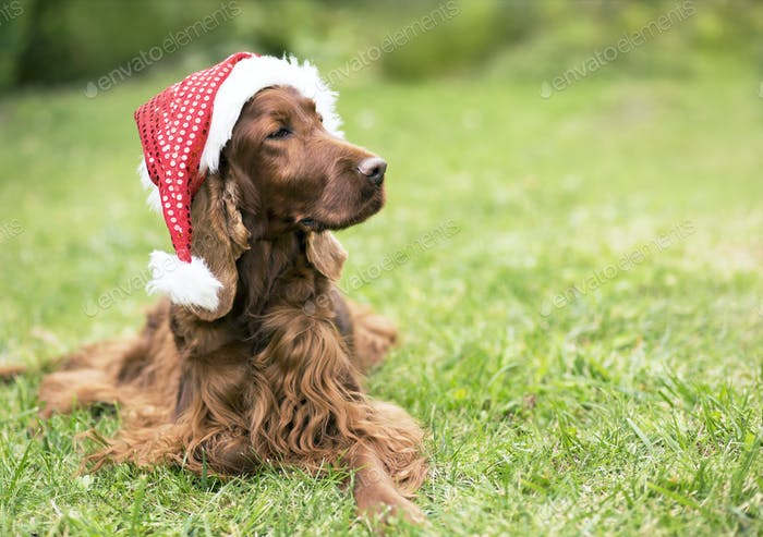 Cute christmas pet dog with Santa Claus hat