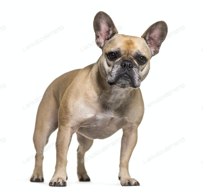 French bulldog dog standing, cut out