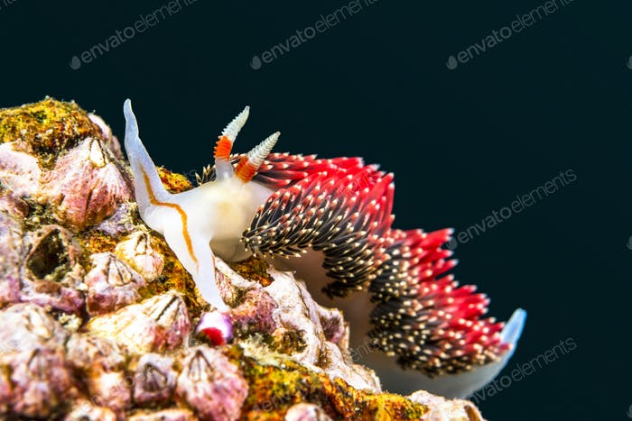 Red nudibranch snail underwater
