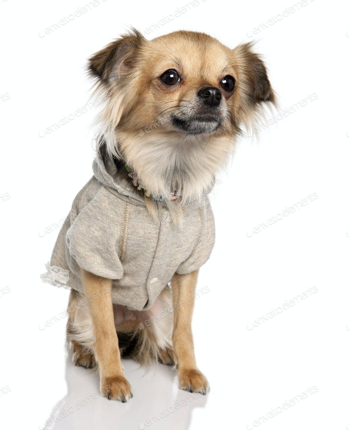 long haired chihuahua (2 years old)