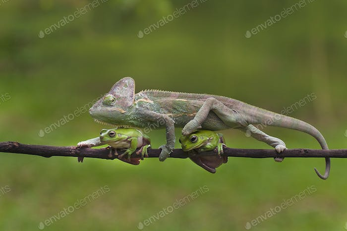 Veiled Chameleon (Chamaeleo Calyptratus) is Walking Through the Two Frogs