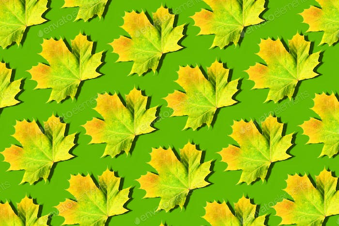 Golden autumn concept. Yellow and orange maple leaves pattern on green background. Top view. Colors