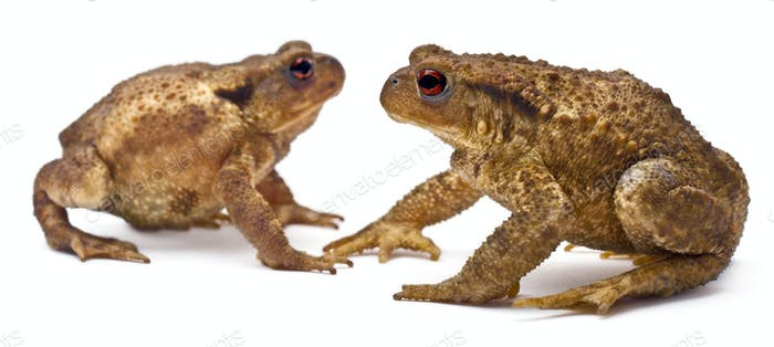 Two common toads or European toads, Bufo bufo, facing each other in front of white background
