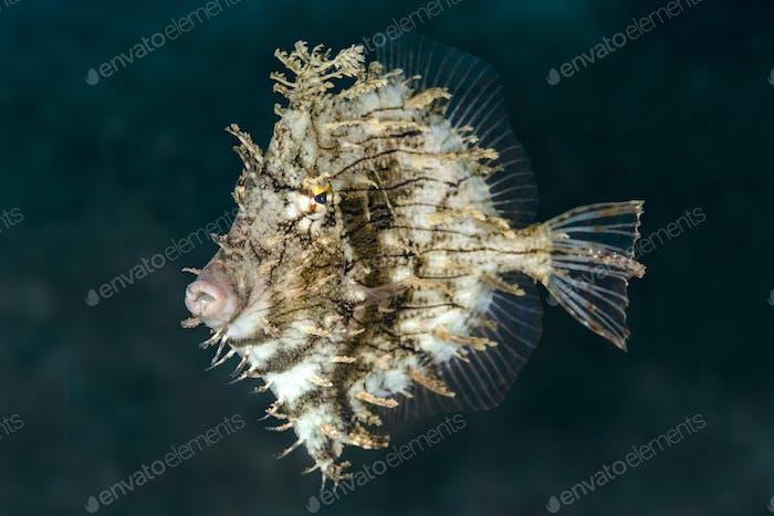 Filefish schweben in der Nähe Riff