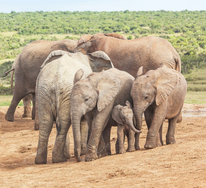 Elephant Calves at Addo Elephant National Park