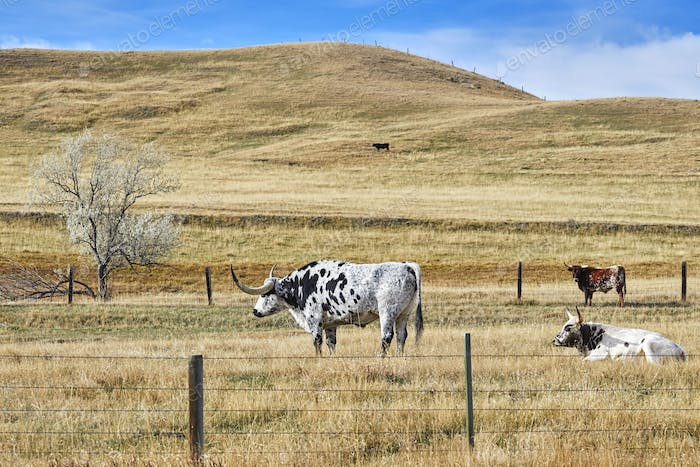 Picture of Texas Longhorns grazing on a dry autumn pasture