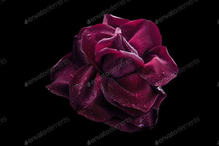 Dark red rose with water drop on the black background