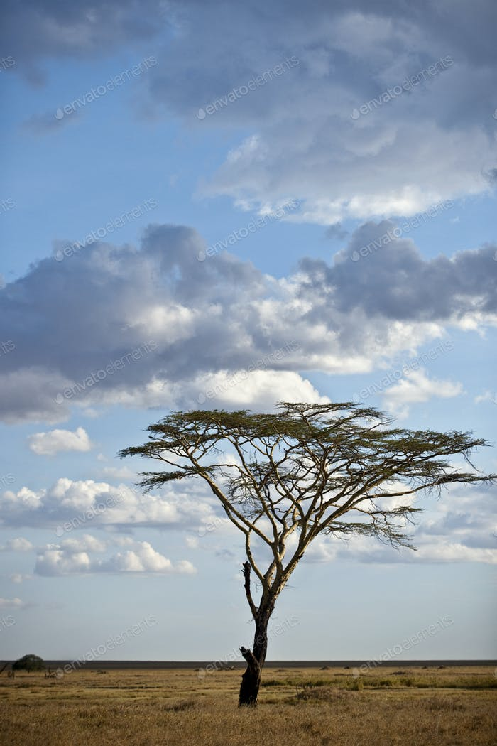Tree and landscape of Serengeti National Park, Serengeti, Tanzania, Africa