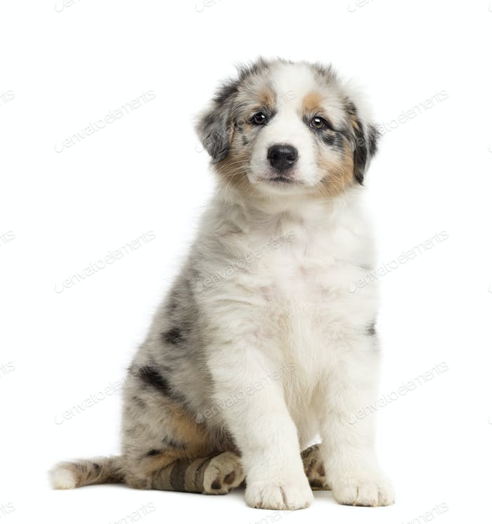 Australian Shepherd puppy with bandage, 8 weeks old, sitting, portrait against white background
