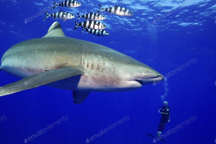 Taucher und mächtiger Raubtier, Oceanic Whitetip Shark, Carcharhinus longimanus, begleitet von Piloten