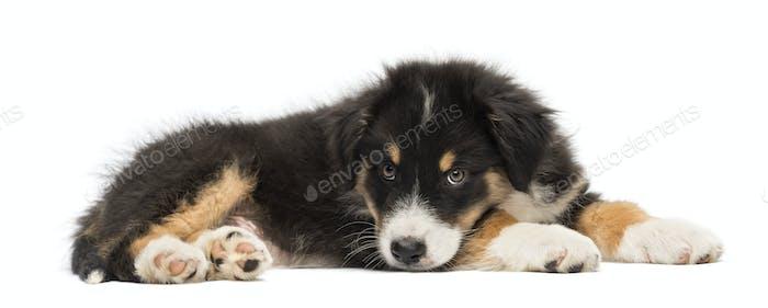 Australian Shepherd puppy, 2 months old, lying against white background