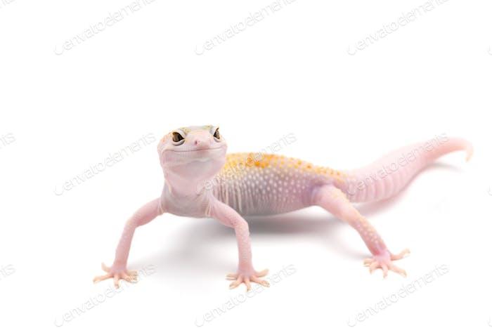 Gecko leopardo aislado sobre Fondo blanco