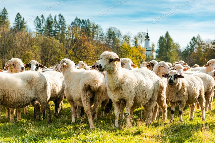 Many Sheeps in Herd Grazing on Pasture at Sunny Autumn Day