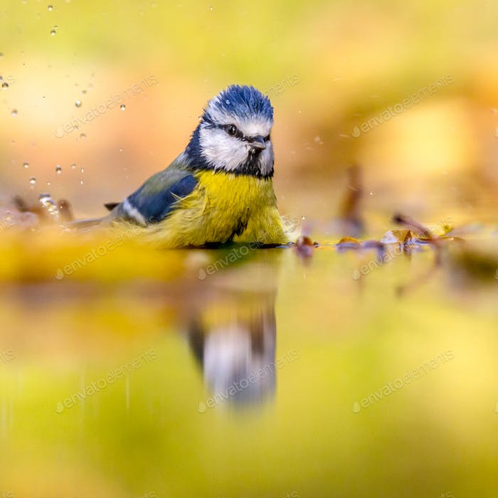 Blue tit in water yellow autumn background
