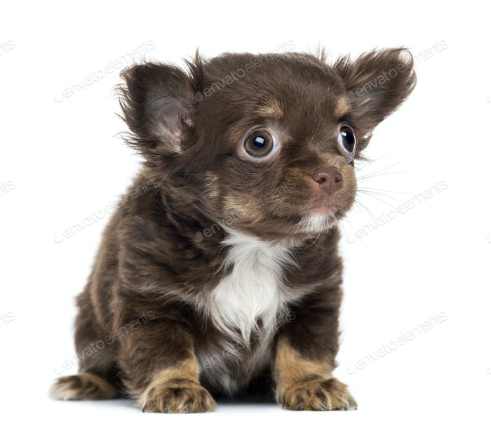 Chihuahua Puppy, 2 months old, sitting and looking up, isolated on white