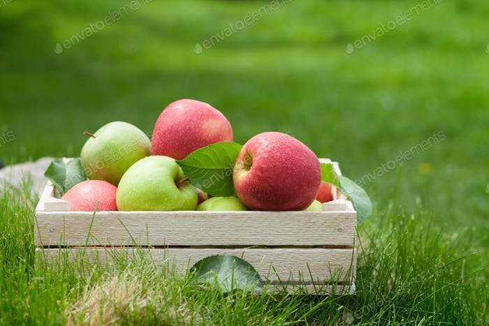 Fresh garden red and green apples