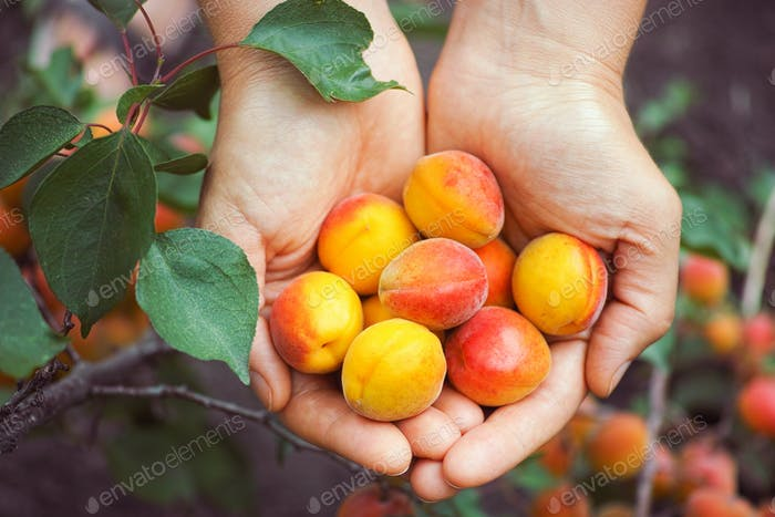 Fresh harvested apricots