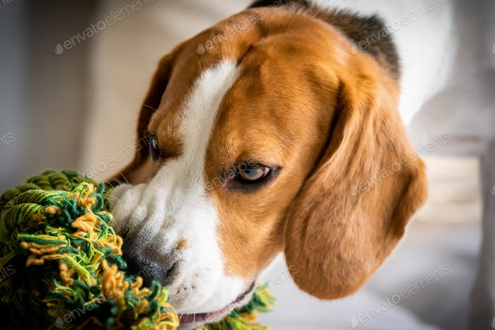 Beagle dog biting and chewing on rope knot toy