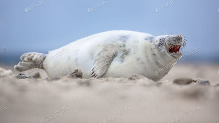 Thumbnail for Comical laughing baby harbor seal