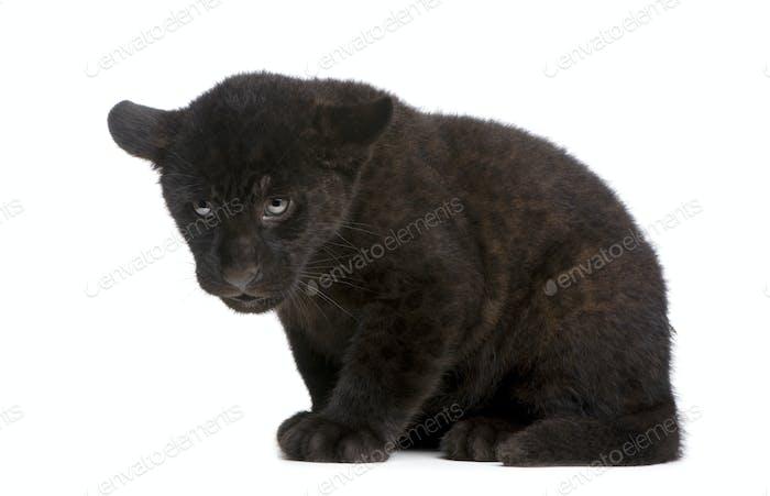 Jaguar cub (2 months) - Panthera onca