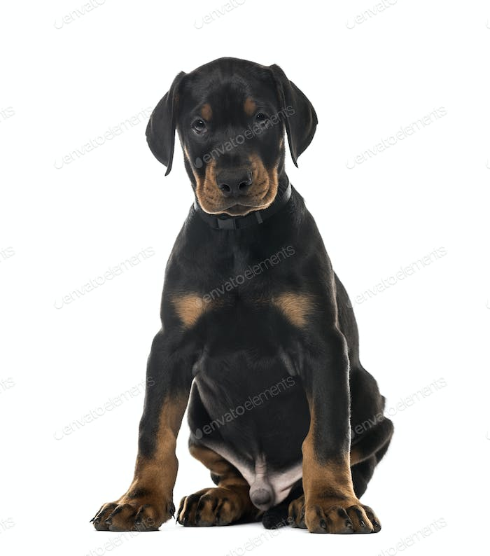 Puppy Doberman Pinscher sitting, 7 weeks old , isolated on white