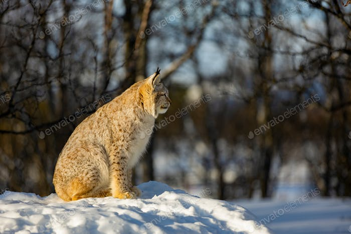 Eurasian lynx sitting on snow while looking away