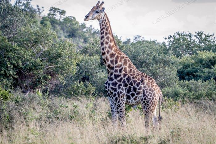 Giraffe standing in the grass.