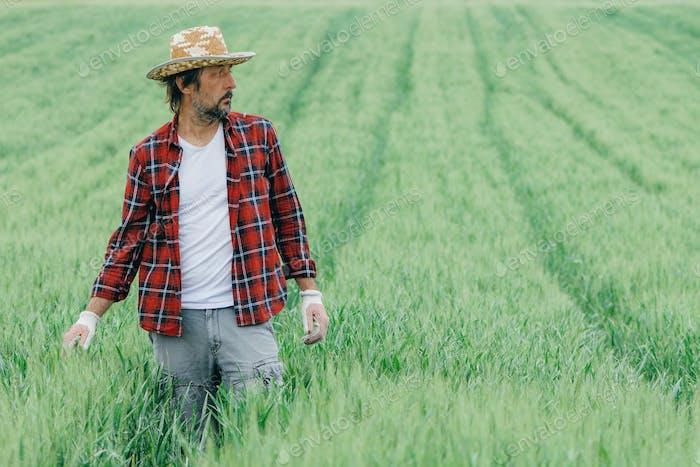 Agronomist zu Fuß durch das grüne Weizenfeld und die Untersuchung der Plantage