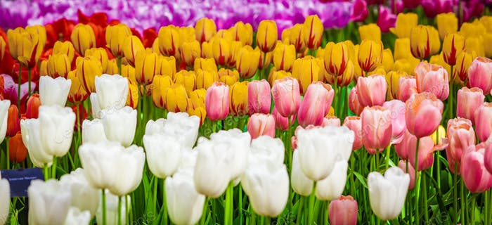 Floral Tulips Background. Tulip Field
