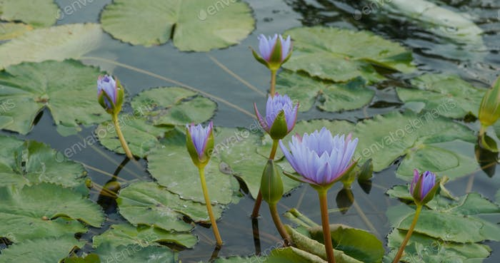 Waterlily in the water pond