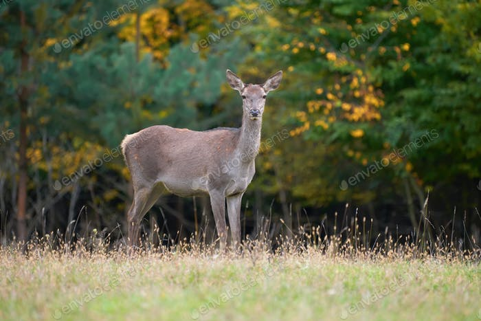 Female Red deer in the natural environment